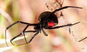 Cuáles son los animales más venenosos del mundo - Viuda negra