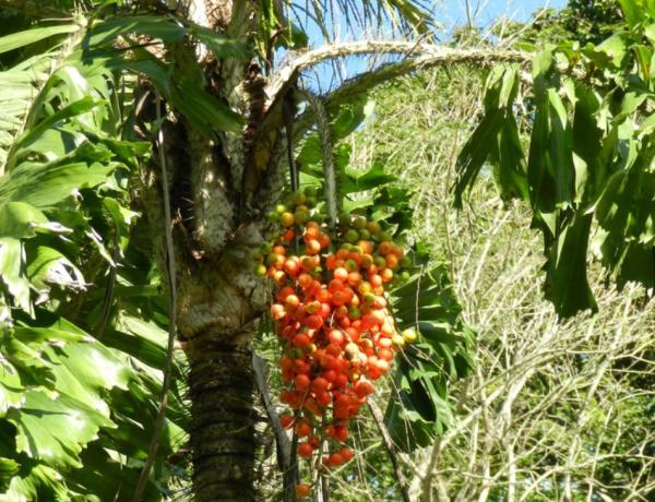 Plantas en peligro de extinción en Ecuador - Aiphanes grandis