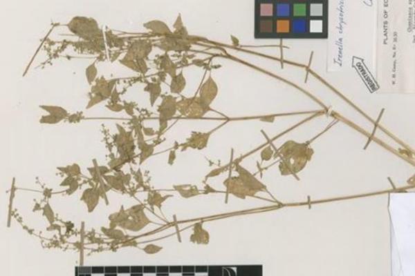 Plantas en peligro de extinción en Ecuador - Irenella chrysotricha
