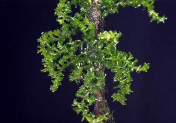 Plantas en peligro de extinción en Ecuador - Myriocolea irrorata