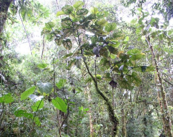 Plantas en peligro de extinción en Ecuador - Piper baezanum