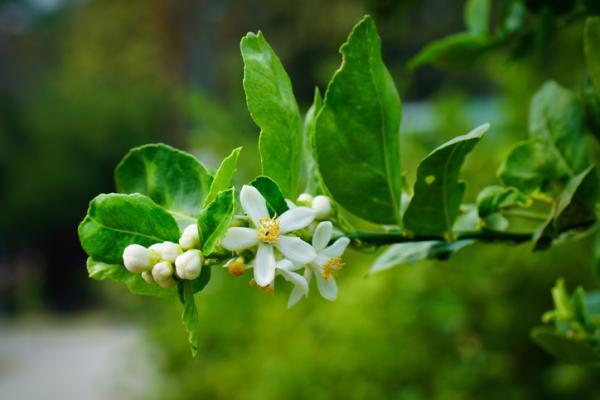 Por qué se caen las flores del limonero - Cuándo florece un limonero