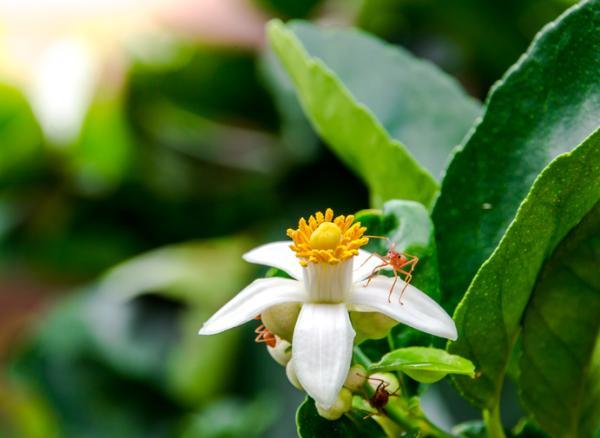 Por qué se caen las flores del limonero - Razones por las que se caen las flores del limonero