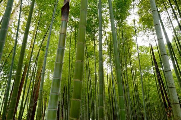 Tipos de bambú - Bambú Bambusa