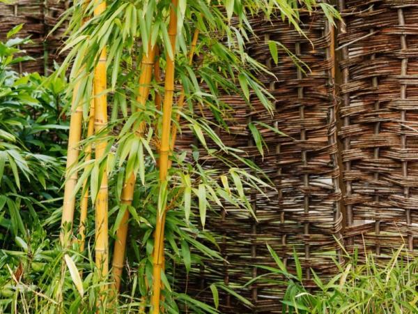 Tipos de bambú - Bambú Phyllostachys