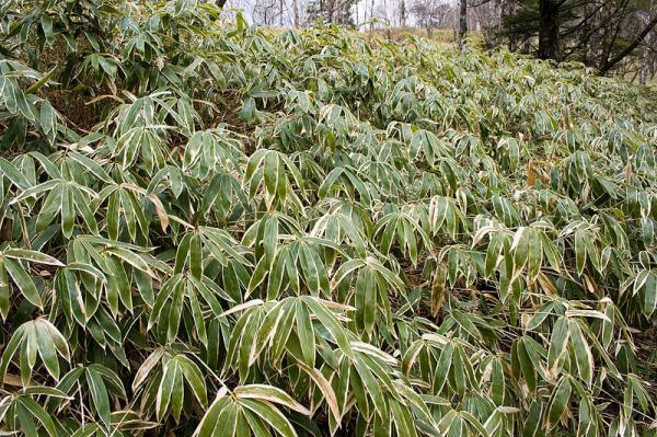Tipos de bambú - Bambú Sasa