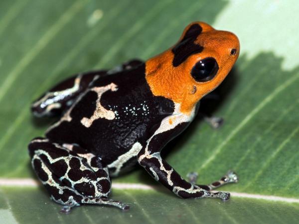 23 especies endémicas de Colombia - Ranita venenosa del valle del Cauca (Minyobates bombetes)