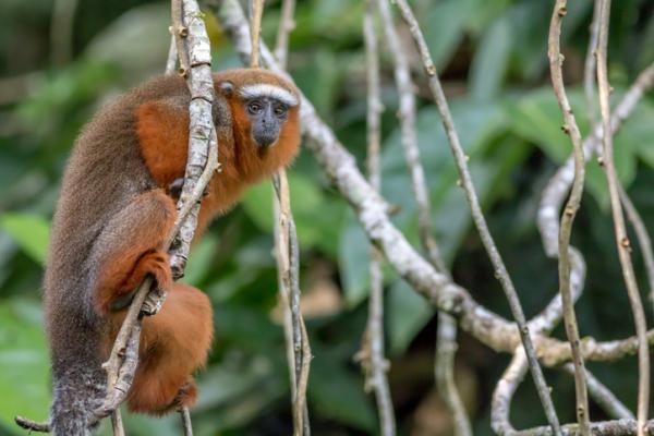 23 especies endémicas de Colombia - Tití ornamentado (Callicebus ornatus)
