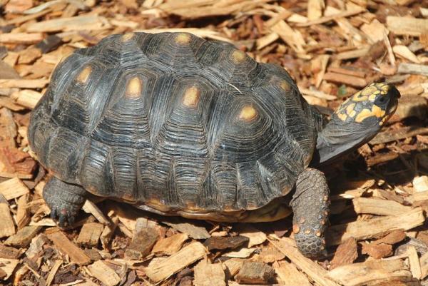 23 especies endémicas de Colombia - Tortuga Morrocoy (Chelonoidis carbonaria)