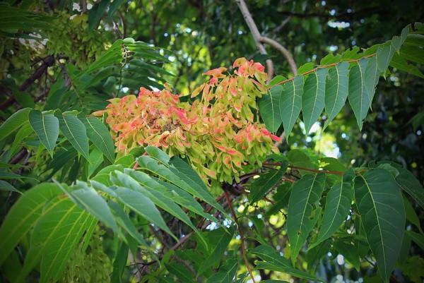 Plantas invasoras: qué son y ejemplos de especies - Ailanto o árbol del cielo