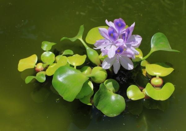 Plantas invasoras: qué son y ejemplos de especies - Camalote o jacinto de agua común
