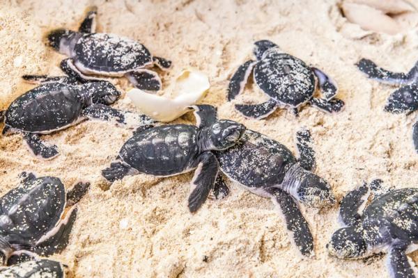 Cuántos huevos ponen las tortugas marinas - Cómo podemos ayudar a las tortugas marinas