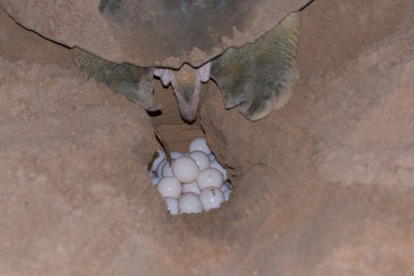 Cuántos huevos ponen las tortugas marinas - Cómo ponen los huevos las tortugas marinas