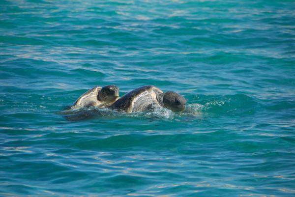 Cómo se reproducen las tortugas marinas - A partir de qué edad se reproducen las tortugas marinas