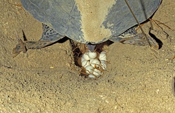 Cómo se reproducen las tortugas marinas - El nido y la puesta de huevos de las tortugas marinas
