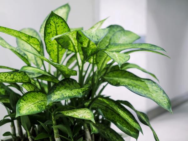 Planta dieffenbachia: cuidados - Qué es la planta dieffenbachia: características