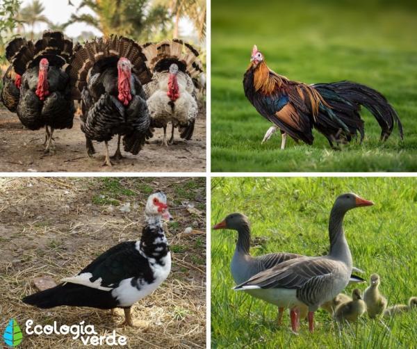 Aves de corral: tipos y ejemplos - Ejemplos de aves de corral