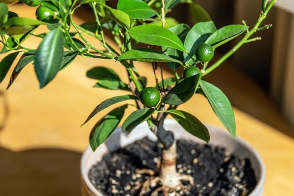 Árboles frutales en maceta: cómo cultivarlos - Árboles frutales en maceta: ¿se pueden tener en interior?