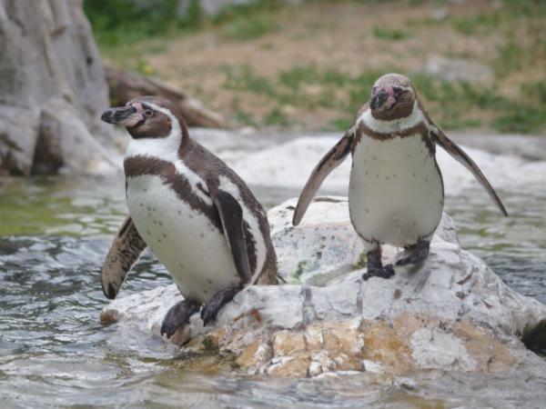 Pingüinos en peligro de extinción - Pingüino de Humboldt