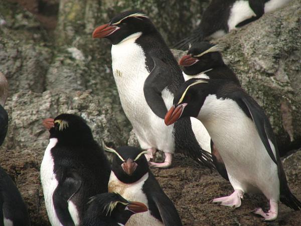 Pingüinos en peligro de extinción - Pingüino de las Snares