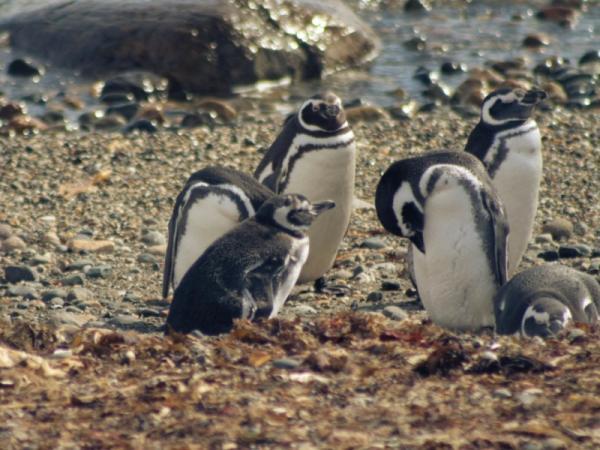Pingüinos en peligro de extinción - Pingüino de Magallanes