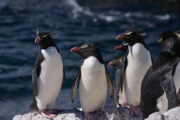 Pingüinos en peligro de extinción - Pingüino de penacho amarillo