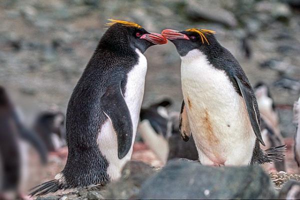 Pingüinos en peligro de extinción - Pingüino macaroni o pingüino de penacho anaranjado