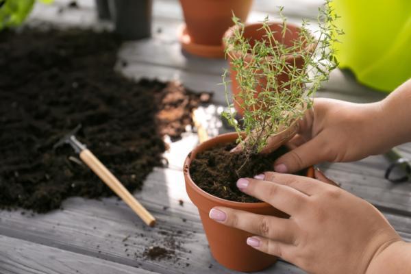 Cómo plantar tomillo