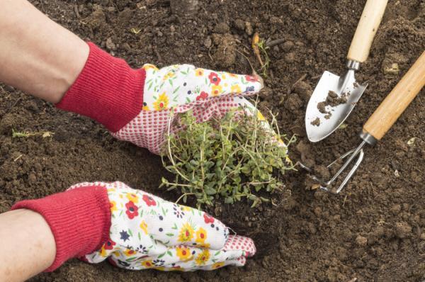 Cómo plantar tomillo - Cómo plantar tomillo en suelo