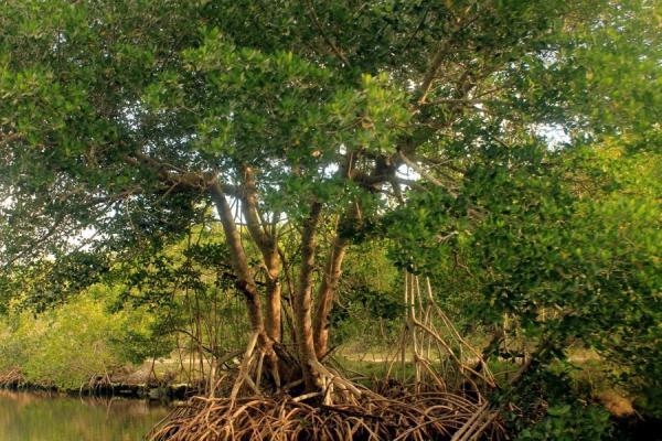 Qué es un manglar y sus características - El árbol mangle