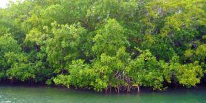 Qué es un manglar y sus características