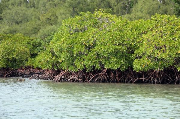 Qué es un manglar y sus características - Qué son los manglares y sus características