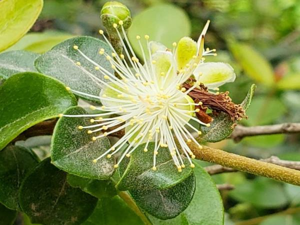 Plantas en peligro de extinción en el Perú - Arrayán (Myrcianthes ferreyrae)