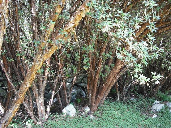 Plantas en peligro de extinción en el Perú - Queñoa (Polylepis racemosa)