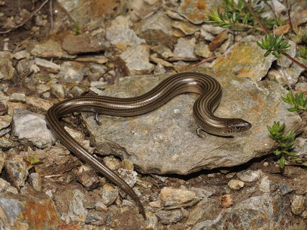 Animales vertebrados sin extremidades: ejemplos - Reptiles sin extremidades