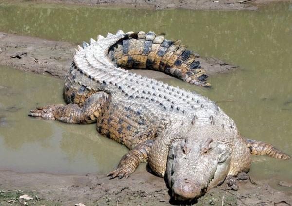 Hábitat del cocodrilo: ¿dónde vive? - Características del cocodrilo