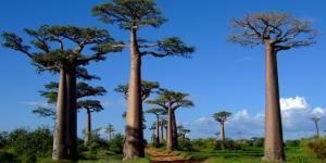 Baobabs: qué son y características