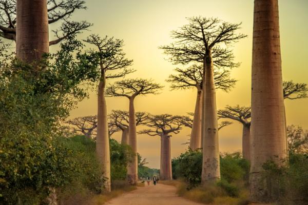 Baobabs: qué son y características - Características de los baobabs