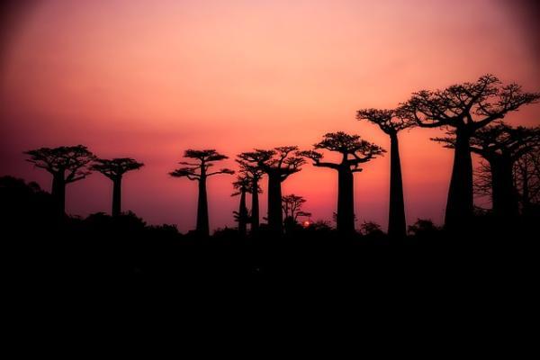 Baobabs: qué son y características - Dónde crecen los baobabs