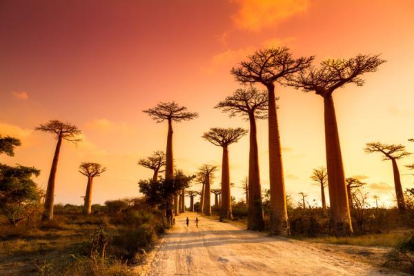 Baobabs: qué son y características - Qué son los baobabs y especies