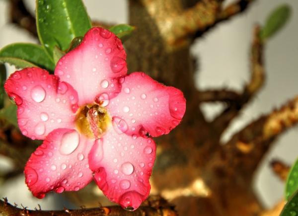 Rosa del desierto: cuidados - Riego de la rosa del desierto