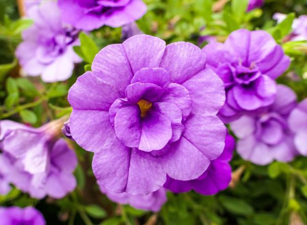 Bulbos de verano - Gloxinia