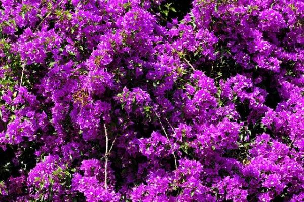 10 flores moradas - Buganvilla