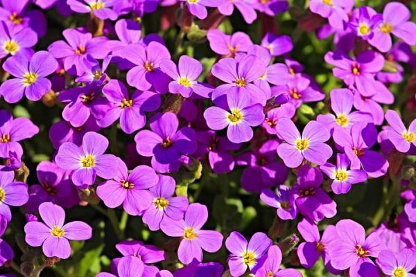 10 flores moradas - Nomeolvides