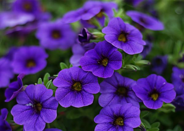 10 flores moradas - Petunia, unas de las flores moradas más famosas
