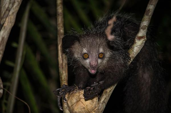 Animales endémicos de Madagascar - Aye-Aye