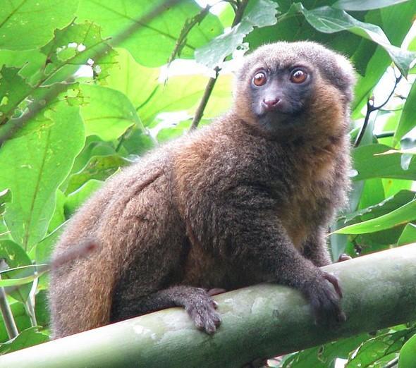 Animales endémicos de Madagascar - Lémur del bambú