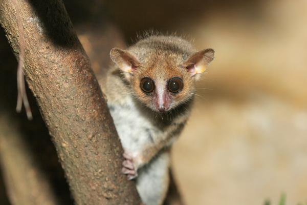 Animales endémicos de Madagascar - Lémur ratón