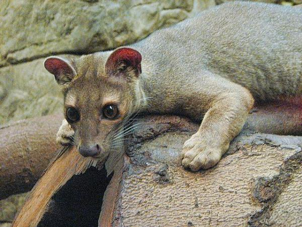 Animales endémicos de Madagascar - Otros mamíferos endémicos de Madagascar