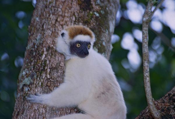 Animales endémicos de Madagascar - Sifaka de Verreaux